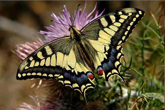 Описание бабочки махаон 49
