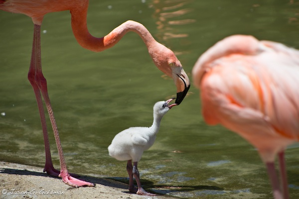 flamingo-feeding.jpg