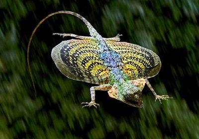 flying-dragon-lizard.jpg