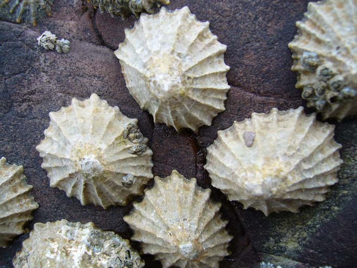 Common_limpets1.jpg