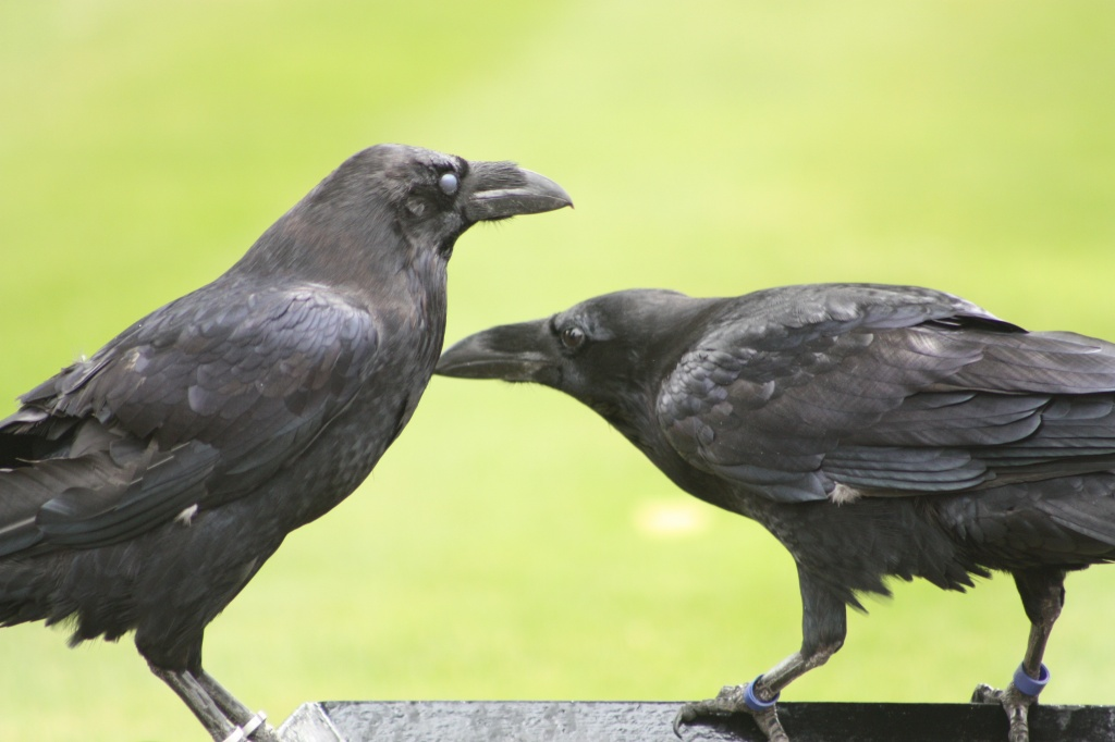 Ravens-tower-of-london.JPG