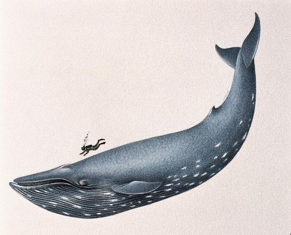 Сколько весит язык синего кита? | 485x600