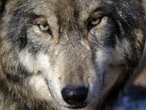 Как волки изменили течение рек